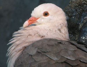 From only 20 alive in 1970, the rare pink pigeons of Mauritius now number 400. However, they are genetically damaged from inbreeding. A bold new program of genomics conservation is underway, reintroducing captive birds to Mauritius to breed with wild birds and expand the flock's genetic stock. Image courtesy Trisha M Shears/Wikimedia Commons